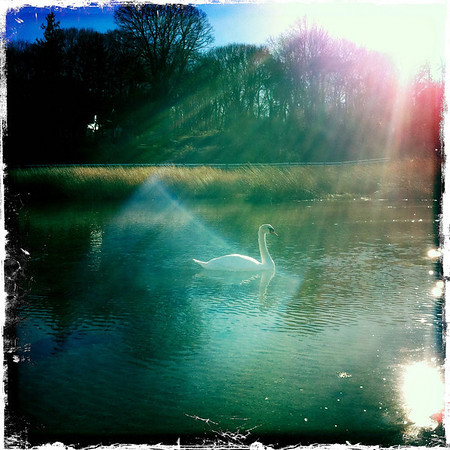 My Swan Friend Keeping Me Company