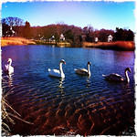 Watching swans on the north shore