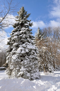 Snow Pine Tree on Long Island