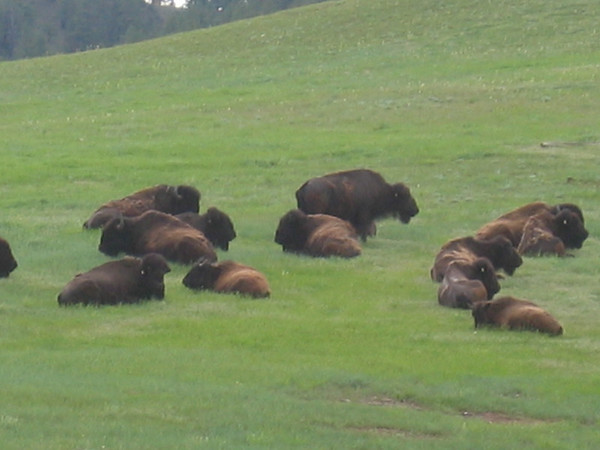 Buffalo grazing in Wyoming