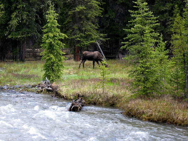 Yellowstoen National Park Moose sighting