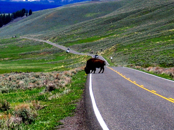 Yellowstone National Park buffalo in the road