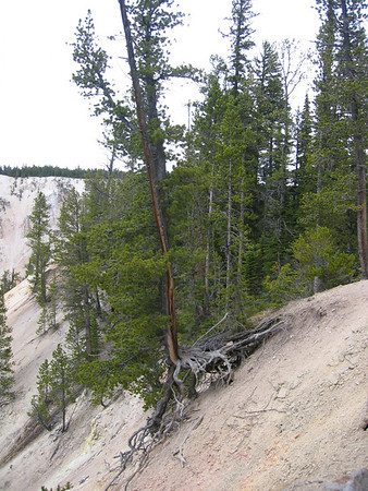 Yellowstone National Park Grand Canyon Tree clinging to the sandy ledge