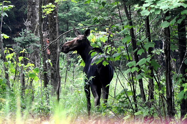 Moose spotted in Maine