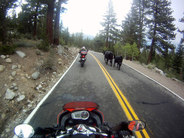 Cows on CA 108