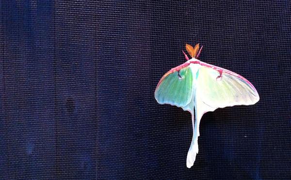 Luna Moth on the screen door