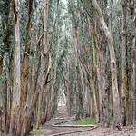 Eucalyptus trees in the Presidio
