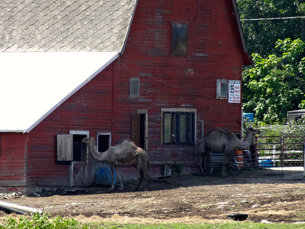 camels on new york farm