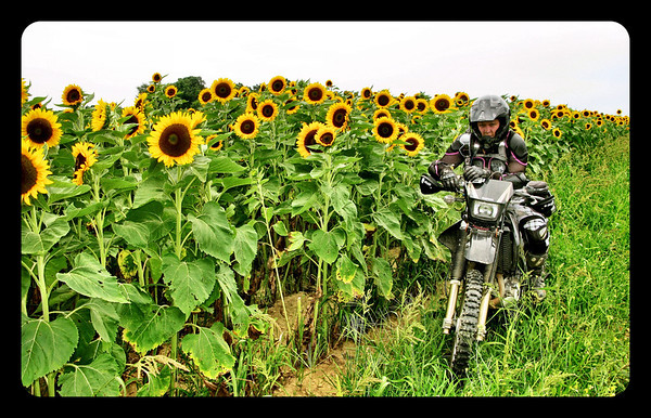 Fuzzygalore on DRZ in sunflower field